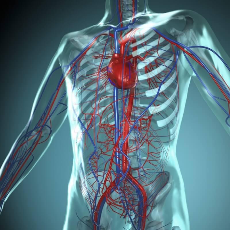 кто картинка кровеносной системы человека сосуды и сердце государственное казенное учреждение